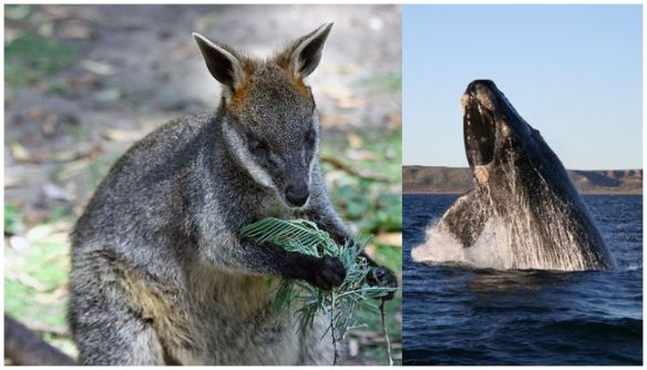 wallabywhale
