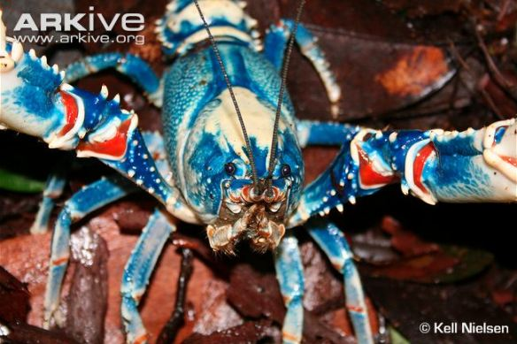 lamington-spiny-crayfish-front-profile
