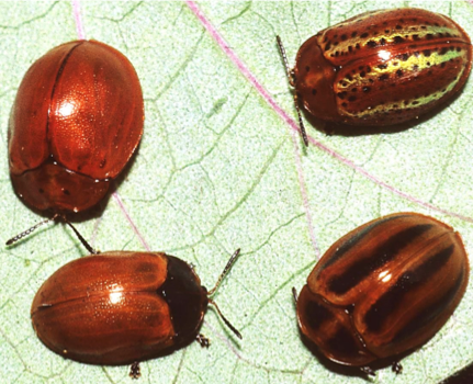 four beetles; all are about the same size, but they have different coloration and patterns